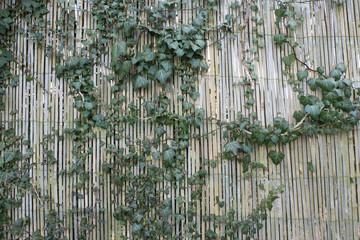 Tree creeping on green bamboo fence background