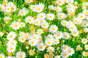 Kamille und Bienen