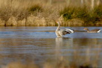 Graylag Goose (Anser anser) swimming in a lake.