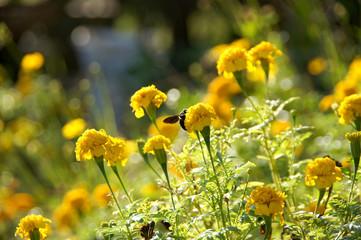 Marigold flower impact sunlight.