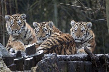 Three curious young tigers in a row