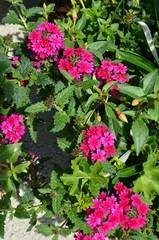Rosa Tofpflanzen im Frühling