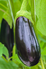 Ripe eggplant in a Dutch greenhouse