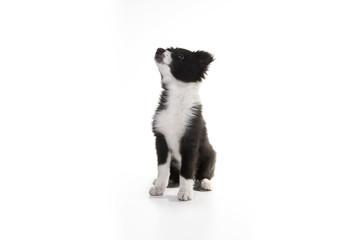 Border Collie (3 months old)