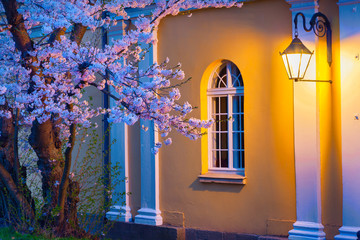 Night scene of blooming sakura illuminated by lamp