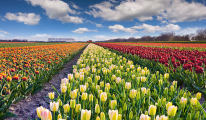 Wall Mural - Tulip farm near the Rutten town