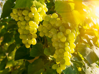 Green grapes on vine with sunset light