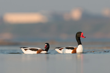 Two common shelducks in water