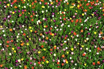 Viele bunte Tulpen - Tulpenfeld