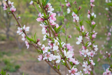 Peach blossom in the spring