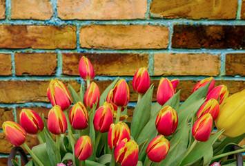 Wall Mural - tulip closeup