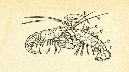 Spiny lobster (left) and clawed lobster