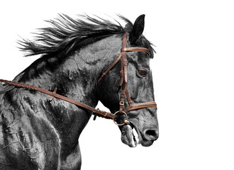 Horse portrait in black and white in the brown bridle