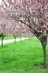 Beautiful flowering trees in park