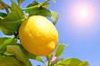 Zitronenbaum in der Sonne