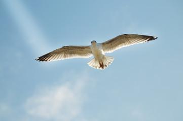 Silbermöwe schwebt am blauen Himmel