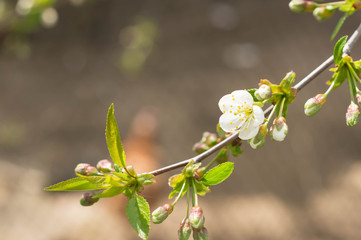 The blossoming cherry tree in sunny spring day