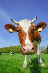Fototapete - Lustige, braune Kuh auf grüner Wiese, Nahaufnahme