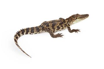 Baby Crocodile Overhead View