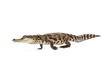 Baby Siamese Crocodile Walking Side View