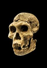 Skull of human ancestor