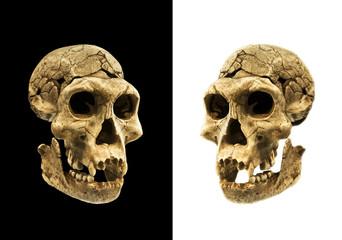 Skull of a human ancestor
