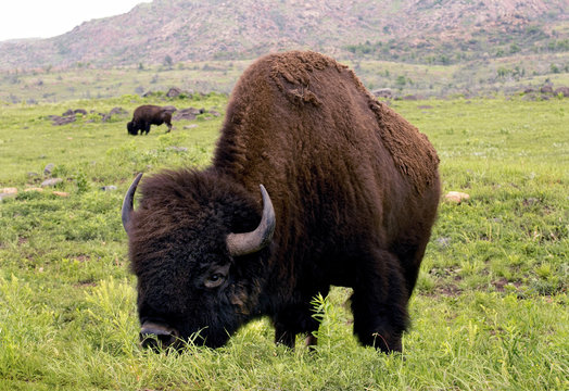 American Buffalo on the plains of Lawton,Oklahoma.
