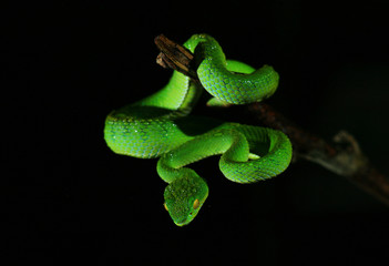 Closeup green snake in rain forest, Thailand with black background