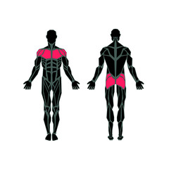 Polygonal anatomy of male muscular system, exercise and muscle