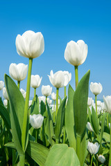Wall Mural - Colorful tulips, tulips in spring.