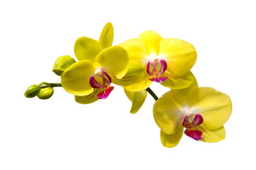 Wall Mural - Orchid isolated on white background.
