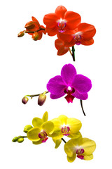 Orchid isolated on white background.Orchid set