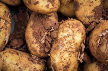 Fresh new organic potatoes covered in soil, food market display