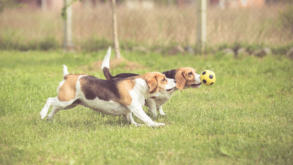 Two Beagle Dogs playing football