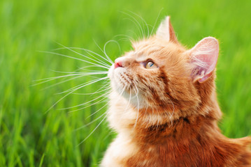 Cat in the Green Grass in Summer. Beautiful Red Cat