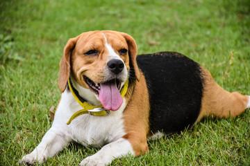 The Beagle in the spring garden
