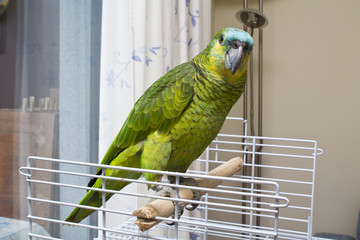 Parrot in terrraza