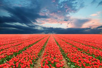 Fotoväggar - Tulip field in Netherlands