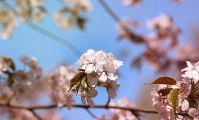 photo cherry blossoms