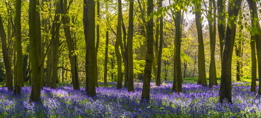Foto op Canvas Bos Sunlight casts shadows across bluebells in a wood
