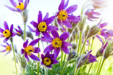 Spring flower Pasqueflower (Pulsatilla grandis)