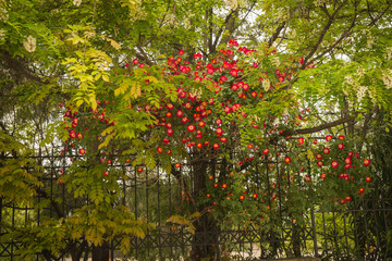 Flowering tree with red flowers, Northern Greece