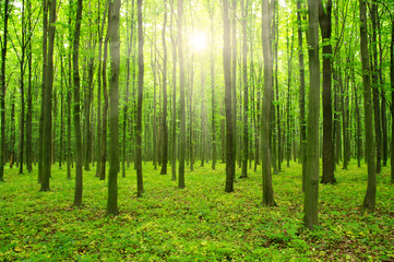Papiers peints Forets sunlight forest