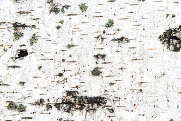 Texture of white birch bark
