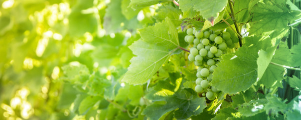 White grapes background.