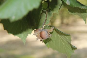 Hazelnuts in the hazel
