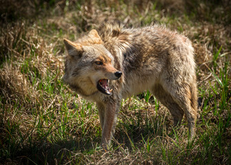 Angry Coyote with Open Mouth