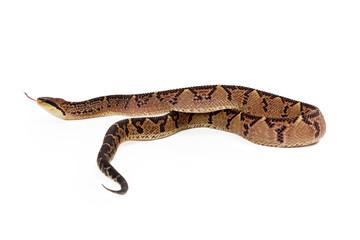 Central American Bushmaster Snake Moving Away