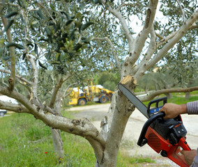 Pruning olive tree of apulia.