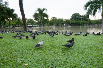 Pigeons at the park